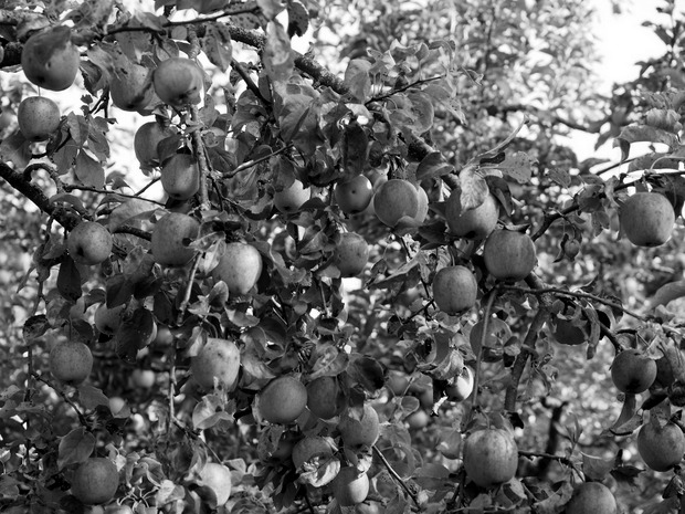 apple-693969_1920